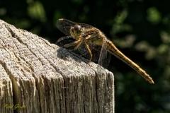 Libelle01w